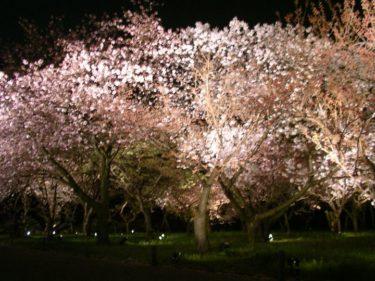二条城 春の夜桜においでませ。