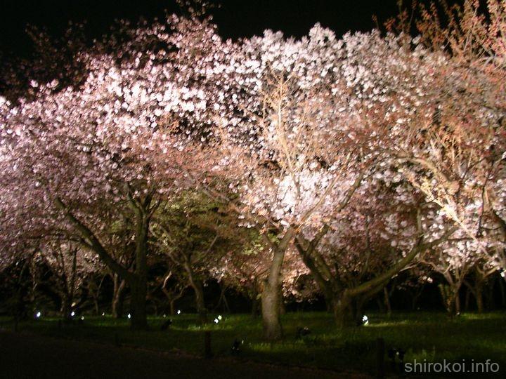二条城の夜桜