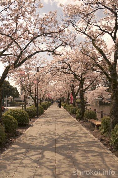 小田原城 桜のトンネル