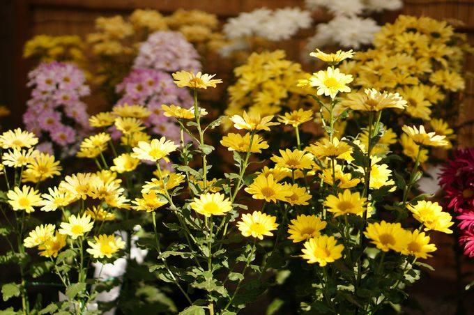 小菊やスプレー菊のような小さな花もたくさん