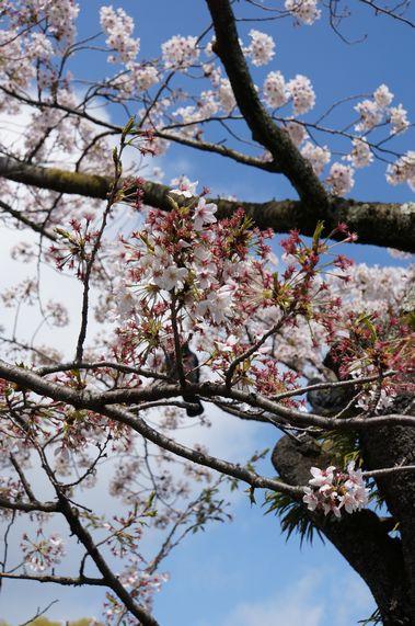 小田原城 青空と桜